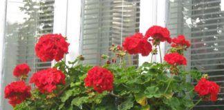 герань на балкон