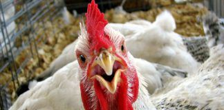курица на балконе