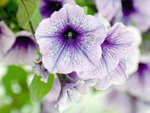петуния цветок
