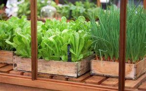салат выращивание
