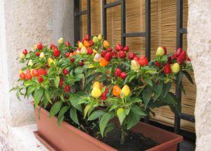 перцы на балконе