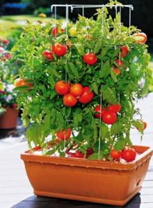 помидоры балконное чудо